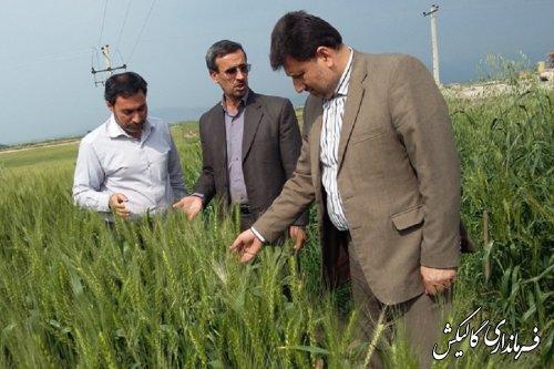 بازدید فرماندار و بخشدار مرکزی گالیکش از مزارع تحقیقاتی شهرستان
