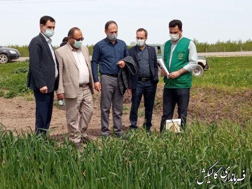 بازدید فرماندار گالیکش از طرح مشارکتی مقایسه ارقام گندم جهاد کشاورزی